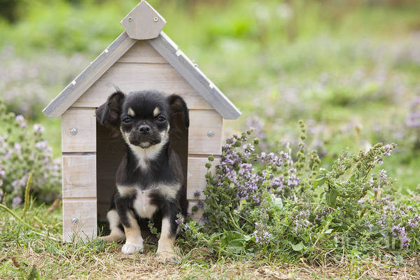 Photograph - Chihuahua Puppy Dog by Jean-Michel Labat