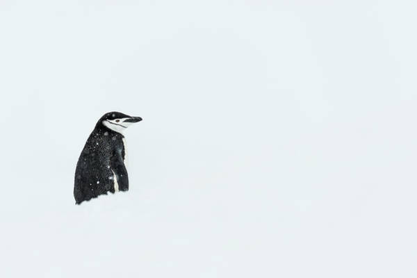 Wall Art - Photograph - Chinstrap Penguin  Pygoscelis by Deb Garside