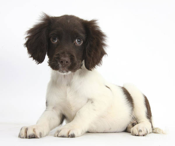 Photograph - Cocker Spaniel Puppy by Mark Taylor