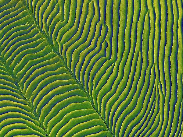 Fish Scales Photograph - Convict Cichlid Fish Scale by Dennis Kunkel Microscopy/science Photo Library