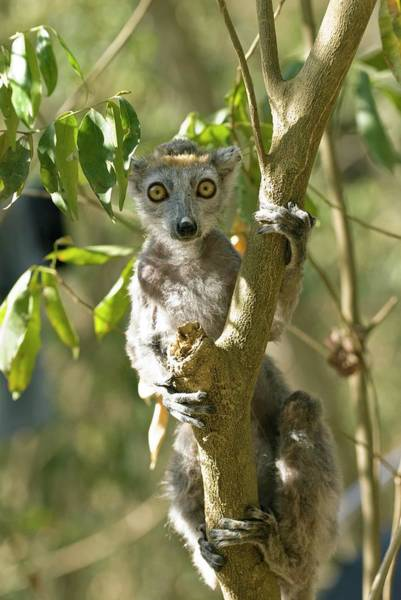 Wall Art - Photograph - Crowned Lemur by Philippe Psaila/science Photo Library