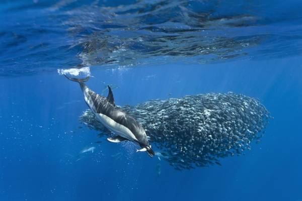Bait Ball Photograph - Dolphins Hunting Mackerel by Science Photo Library