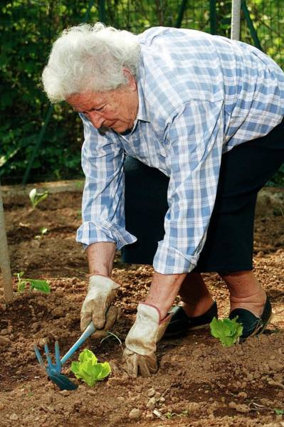 Trowel Photograph - Elderly Lady Gardening by Mauro Fermariello/science Photo Library