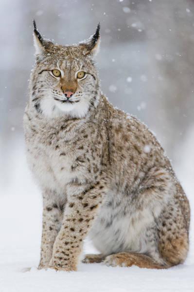 Carnivora Photograph - Eurasian Lynx In Winter, Norway by Roger Eritja