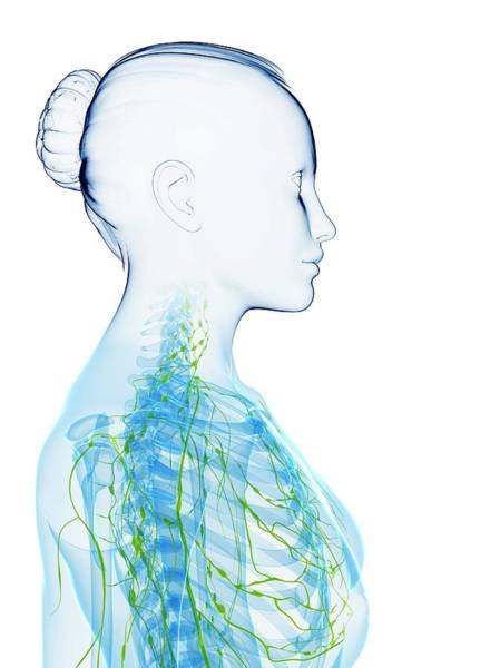 Head And Shoulders Photograph - Female Anatomy by Sciepro/science Photo Library