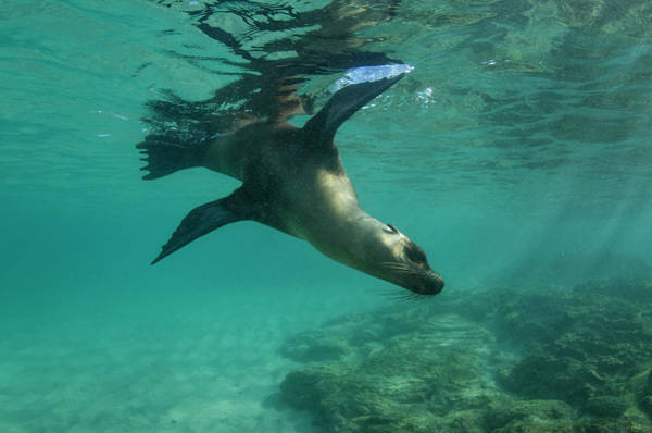 Ecuador Photograph - Galapagos Sea Lion (zalophus Wollebaeki by Pete Oxford