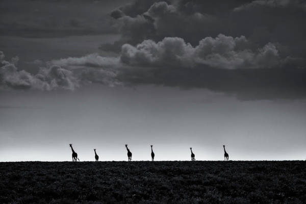 Tall Photograph - 6 Giraffes by Greg Metro