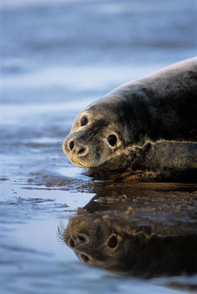 Wall Art - Photograph - Grey Seal Pup by Duncan Shaw/science Photo Library
