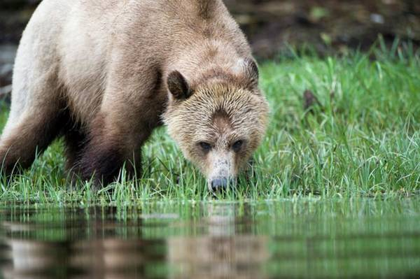 Wall Art - Photograph - Grizzly Bear by Dr P. Marazzi/science Photo Library