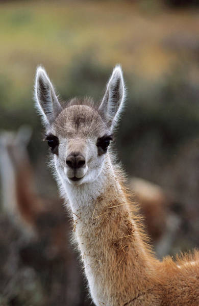 Andes Photograph - Guanaco (lama Guanicoe by Martin Zwick