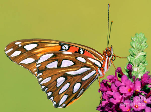Duval County Photograph - Gulf Fritillary Butterfly by Millard H. Sharp