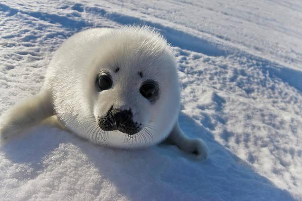 Wall Art - Photograph - Harp Seal Pup, Close Up, Iles De La by Keren Su