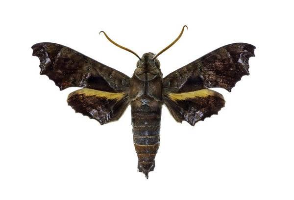 Metamorphosis Photograph - Hawk Moth by F. Martinez Clavel