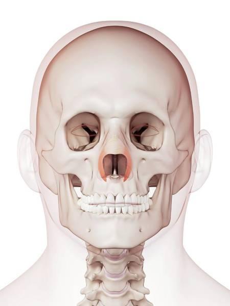 Nasalis Photograph - Human Facial Muscles by Sebastian Kaulitzki/science Photo Library