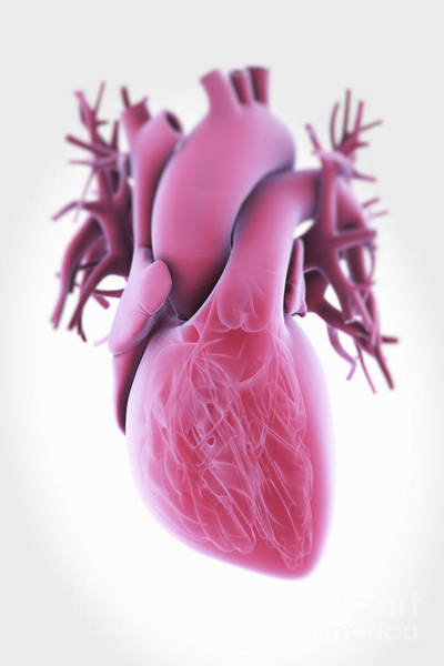 Photograph - Human Heart by Science Picture Co
