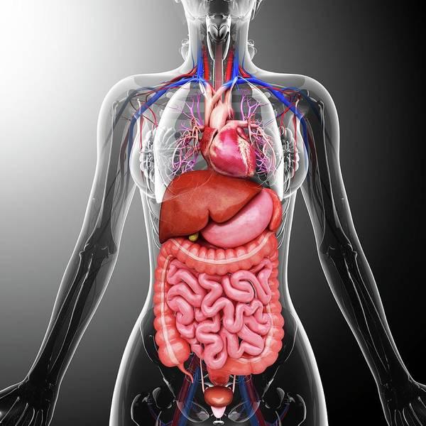 Bronchus Photograph - Human Internal Organs by Pixologicstudio