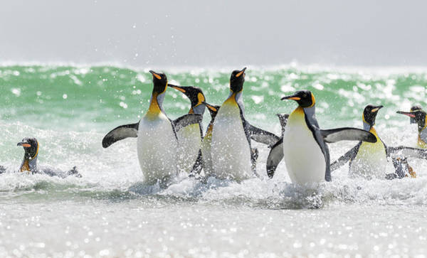 South Atlantic Wall Art - Photograph - King Penguin (aptenodytes Patagonicus by Martin Zwick