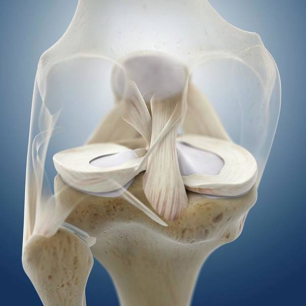 Wall Art - Photograph - Knee Anatomy by Springer Medizin/science Photo Library