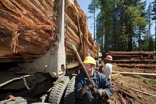 Trailer Photograph - Logging Redwood Trees by Jim West