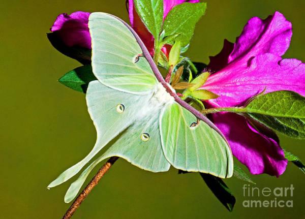 Pterygota Wall Art - Photograph - Luna Moth by Millard H. Sharp