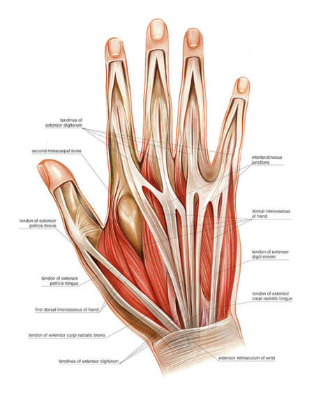 Hand Anatomy Wall Art - Photograph - Muscles Of The Hand by Asklepios Medical Atlas