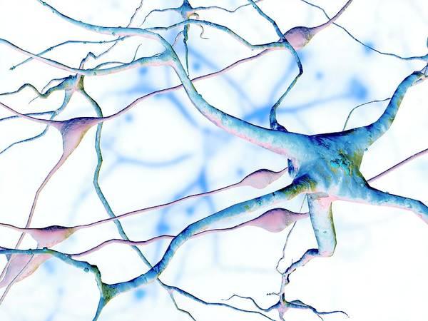 Neuron Wall Art - Photograph - Nerve Cells by Pasieka