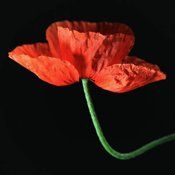 Wall Art -  - Poppy by Falko Follert