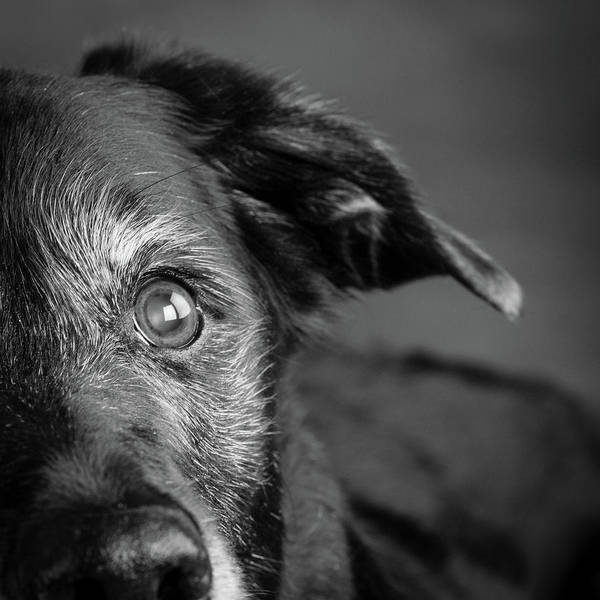 Wall Art - Photograph - Portrait Of A Labrador Golden Mixed Dog by Animal Images