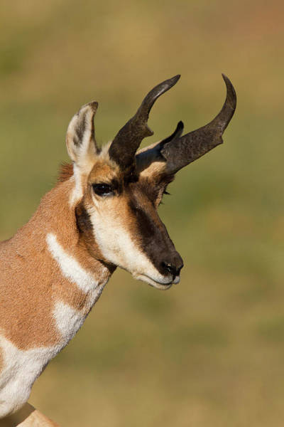 Pronghorn Photograph - Pronghorn (antilocapra Americana by Larry Ditto
