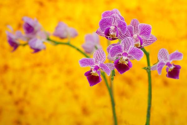 Photograph - Purple Orchid-9 by Rudy Umans
