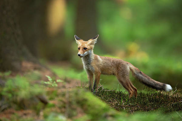 Wall Art - Photograph - Red Fox by Milan Zygmunt