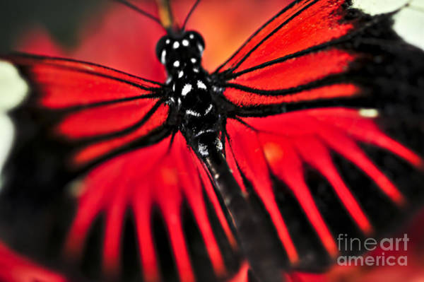 Wall Art - Photograph - Red Heliconius Dora Butterfly by Elena Elisseeva