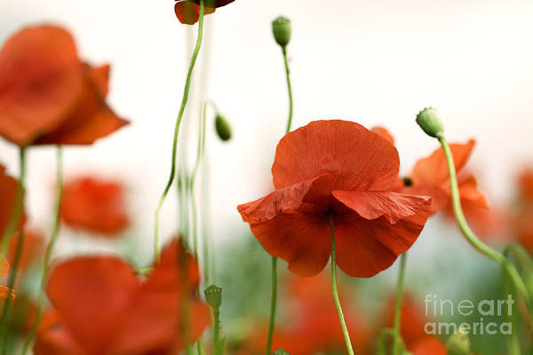 Wild Flower Photograph - Red Poppy Flowers by Nailia Schwarz