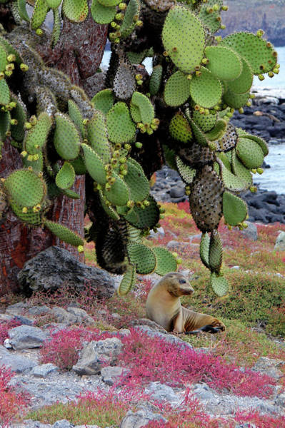 Prickly Pear Photograph - South America, Ecuador, Galapagos by Kymri Wilt