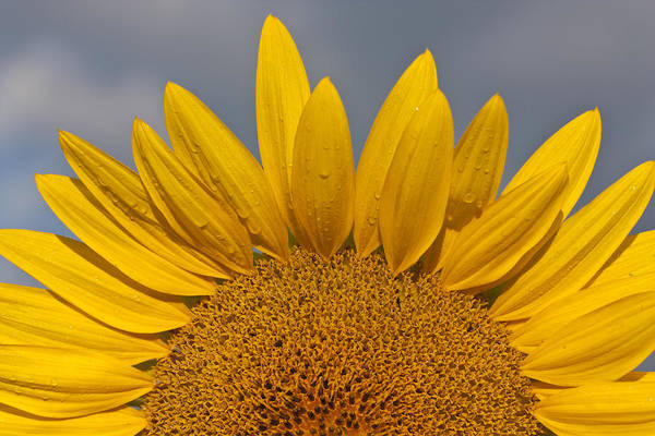Photograph - Sunflower by Nick Mares