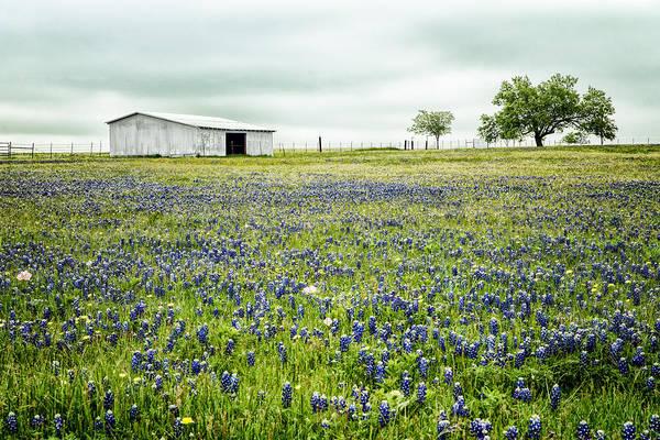 Texas Bluebonnets 6 Art Print