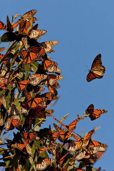 Monarch Butterflies Photograph - Usa, California, San Luis Obispo County by Jaynes Gallery