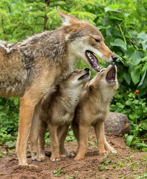 Howling Photograph - Usa, Minnesota, Sandstone, Minnesota by Jaynes Gallery