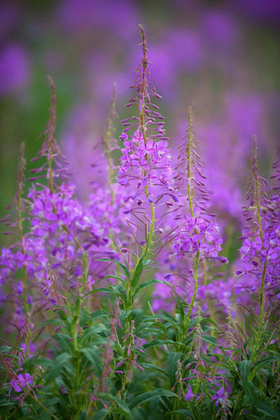 Fireweed Photograph - Usa, Montana, Glacier National Park by Jaynes Gallery