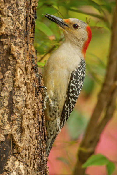 Red Bellied Woodpecker Photograph - Usa, North Carolina, Guilford County by Jaynes Gallery