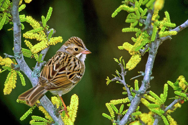 Sweet Bird Photograph - Usa, Texas, Rio Grande Valley, Mcallen by Jaynes Gallery