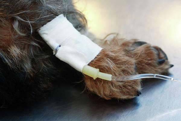 Iv Wall Art - Photograph - Veterinary Surgery by Mauro Fermariello/science Photo Library