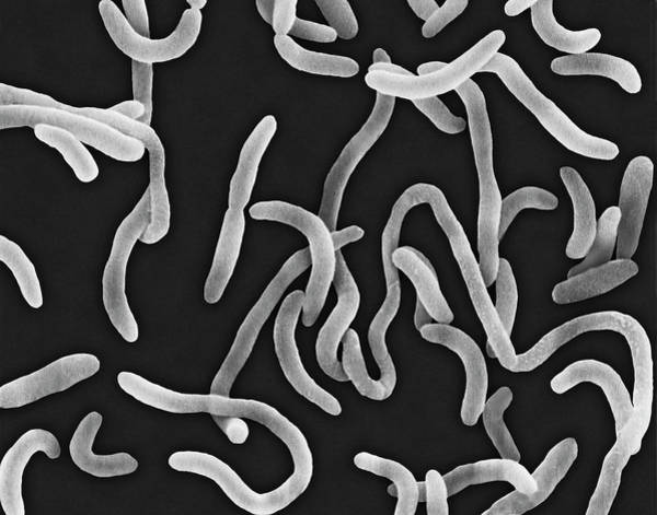 Wall Art - Photograph - Vibrio Cholerae by Dennis Kunkel Microscopy/science Photo Library