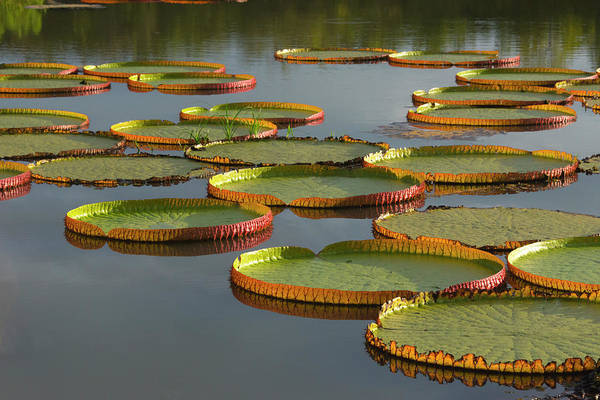 Victoria Amazonica Wall Art - Photograph - Victoria Amazonica Lily Pads by Keren Su