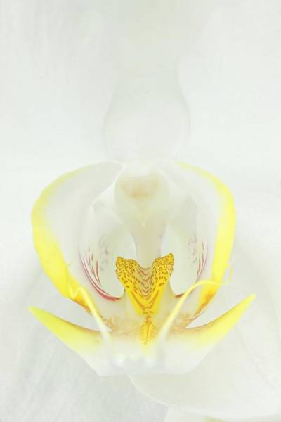 Photograph - White Orchid-3 by Rudy Umans