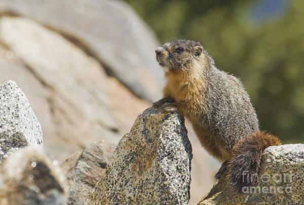 Photograph - Yellow-bellied Marmot by Dan Suzio