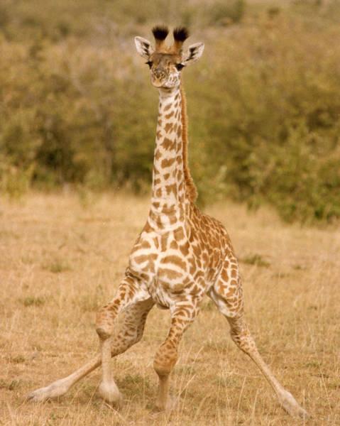 Photograph - 6310 Baby Masai Giraffe Getting Up by Chris Maher