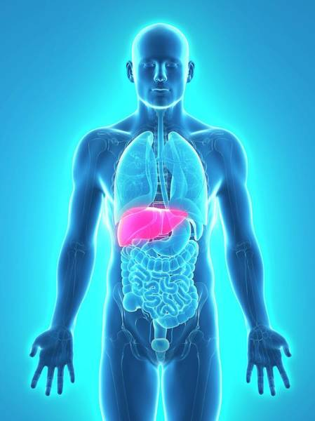 Wall Art - Photograph - Healthy Liver by Sciepro/science Photo Library