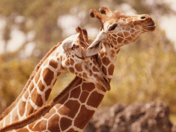 Photograph - 6600 Two Giraffes Necking by Chris Maher