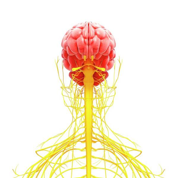 Olfactory Bulb Photograph - Human Nervous System by Pixologicstudio/science Photo Library